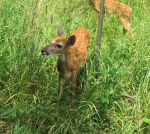 Fenced In Fawns 4 by Windthin