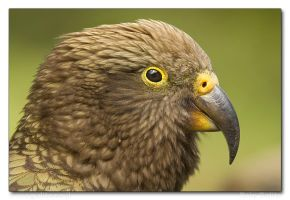 Here's looking at you, Kea by RoieG