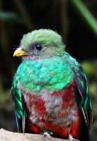 Quetzal Chick by deliquescing