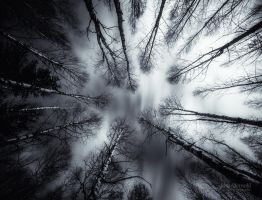 Dark Birches by Nitrok