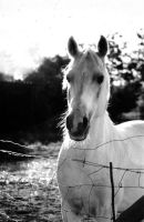 White horse by ridstar