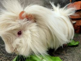 My Guinea Pig by Annabel158
