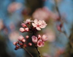 Cherry Blossoms by louiecablouie
