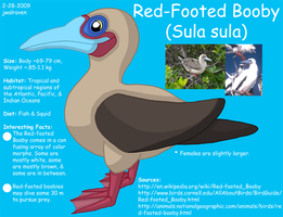 Red-Footed Booby Info by JwalsShop