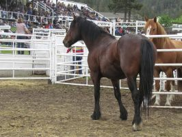 Rodeo Horse Stock 11 by horsecrazycool