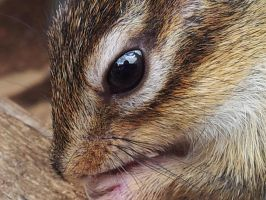 Chipmunk closeup by SnapHappySash