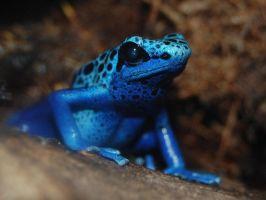 Poison Dart Tree Frog by theblackoutsyndrome