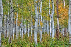 The Thick Aspen Grove by mjohanson
