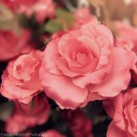 Pink roses by FrancescaDelfino