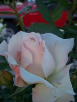 White Rosebud by flamingpig