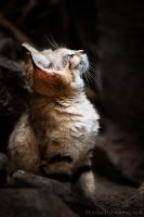 Sand Cat by amrodel