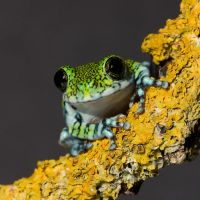 Peacock frog crop by AngiWallace