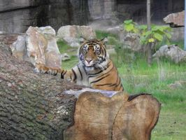 Burgers Zoo tiger 8 by JanuaryGuest
