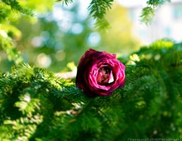 A rose in the garden by FrancescaDelfino