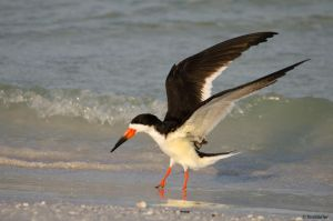 Black Skimmer by TerribleTer