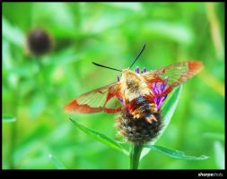 Hummingbird Clearwing Moth by Sharpeshots