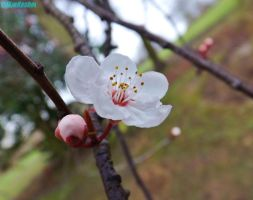 tree blossom by IamNasher