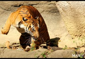 Malayan Tiger_5405 by MASOCHO