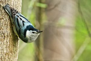 Nuthatch by shaguar0508