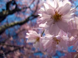 Cherry Blossoms by jlel