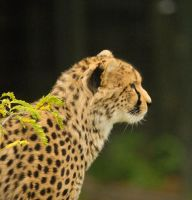 Cheetah1 by shaunthorpe