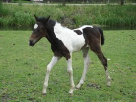 Walking Bay Tobiano Foal by Horselover60-Stock