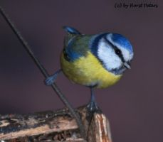 Blue Tit / Blaumeise by bluesgrass