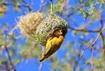 Southern Masked Weaver - Finding Home - Bird Love by LivingWild