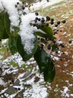 Snow on a tree branch by OreoApocalypse