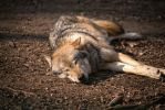 Sleepy Wolf by Vargson
