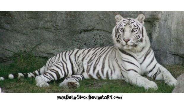White Tiger Relaxing by Della-Stock