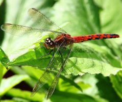 RED DRAGONFLY by LESHA