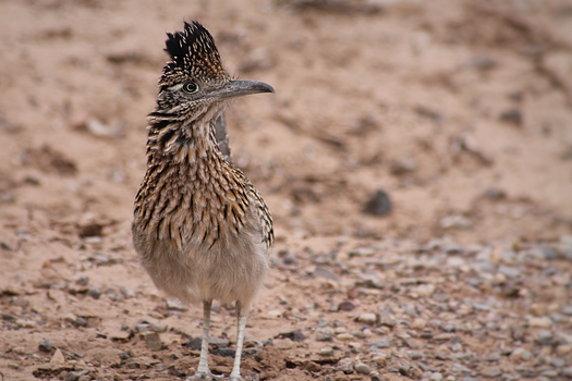 Roadrunner by DBoydPhotography