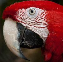 Red Parrot by theon07