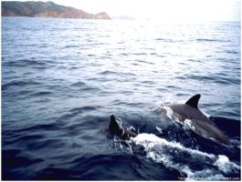 Dolphins by nd-