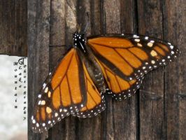 Monarch Butterfly 2 by OneofakindKnight