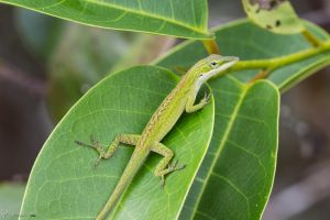 Green anole on a leaf by CyclicalCore