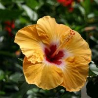 Hibiscus by Graphitation