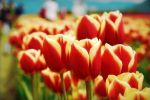 Tulip Festival by Musie951