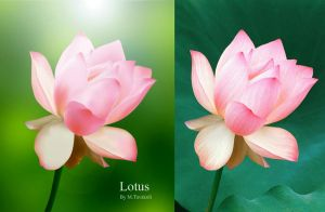 Lotus by DigitalDreams-Art