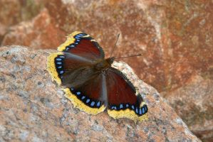 Mourning Cloak by duncan-blues