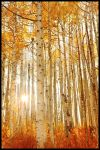 Backlit Aspen by kimjew