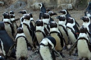 Mob of African penguins by steppeland