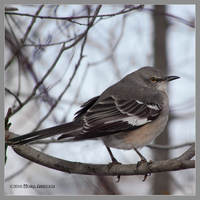 MockingBird Early Winter by Mogrianne