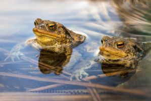 Male toads in water, Bufo bufo by victoria-P