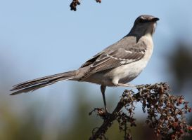 Northern Mockingbird 1 by ShadowsStocks