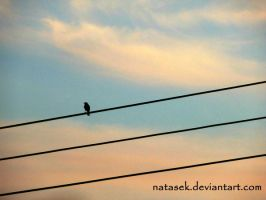 Bird on the wire by Natasek