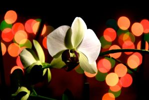 orchid and the lights by LENA3689