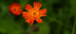 Fire for Petals 2 by jenheinser