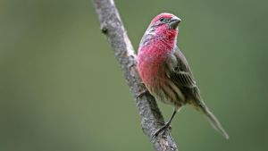 House Finch - Rosselin - HD by MichelLalonde
